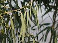 Eucalyptus sp. (4397868989).jpg