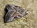 Eucarta virgo - Silvery gem (40347178534).jpg