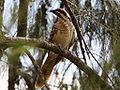 Eudynamys scolopaceus (Asian Koel) - Juvenile.jpg