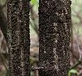 Euonymus verrucosa070515c.jpg