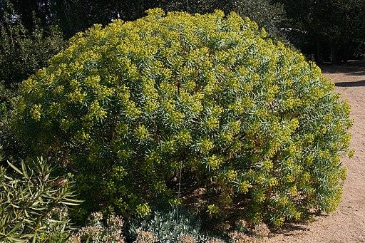 Euphorbia-characias-total2