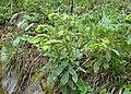 Euphorbia amygdaloides kz08.jpg