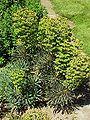 Euphorbia characias7.jpg
