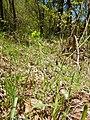 Euphorbia cyparisias (Euphorbiaceae) (2).jpg