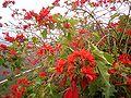 Euphorbia pulcherrima (Barlovento) 07.jpg