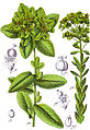 Euphorbia spp Sturm29.jpg