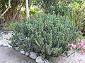 Euphorbia trigona - Jardin d'Éden 2.JPG