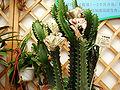 EuphoribiaNeriifolia.jpg