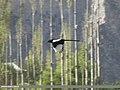 Eurasian Magpie (Pica pica bactriana) (15888093595).jpg