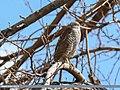 Eurasian Sparrowhawk (Accipiter nisus) (24609739418).jpg