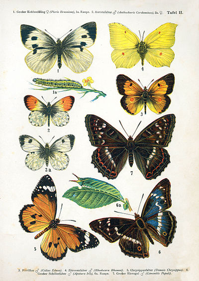 Olivia finds a display of butterfly specimens similar to this one in Young's apartment. European-butterfly 044-II.jpg
