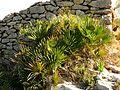 European Fan Palm - Flickr - treegrow.jpg