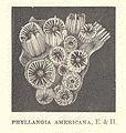 FMIB 53069 Phyllangia americana, E & H.jpeg