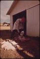 FUR SKINS BEING SALTED AT A BUYING SHED IN LEAKEY, TEXAS, NEAR SAN ANTONIO - NARA - 554940.tif