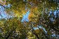 Fagus sylvatica Herbstlaub 01.JPG