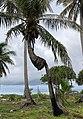 Fakarava - renaissance d'un cocotier.jpg