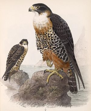 Orange-breasted falcon - Image: Falco deiroleucus 1902