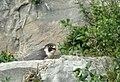 Falco peregrinus on nest Silverdale.jpg
