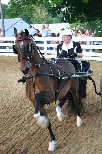 Overcheck - A modern harness with an overcheck rein, visible along the neck of the horse