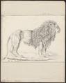 Felis leo - 1818-1842 - Print - Iconographia Zoologica - Special Collections University of Amsterdam - UBA01 IZ22100065.tif