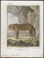 Felis onca - 1700-1880 - Print - Iconographia Zoologica - Special Collections University of Amsterdam - UBA01 IZ22100166.tif