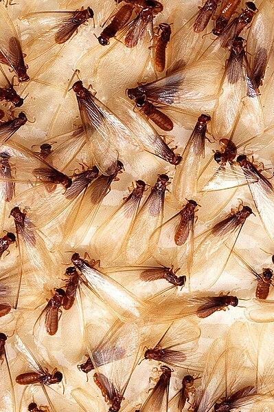 File:Female Coptotermes formosanus.jpg
