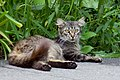Feral cat in Krasnodar-2012-07-07.jpg