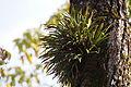Fern (Lepisorus thunbergianus) (16167849406).jpg