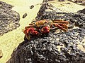 Fernando de Noronha Island crab - Krabbe (18472221574).jpg