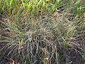 Festuca idahoensis (3750487627).jpg