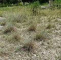 Festuca pallens plant (05).jpg