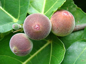 Figs on the variegated fig Ficus aspera 'Parce...