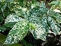 Ficus aspera 2.jpg