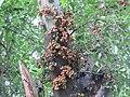 Ficus racemosa fruits at Peravoor (6).jpg