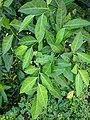 Ficus sp50.jpg
