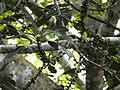 Ficus virens Manamboli power house DSCN0218.JPG