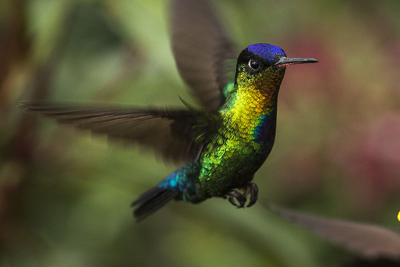File:Fiery-throated Hummingbird - Cloud Forest - Costa Rica MG 6076 (26417370590).jpg