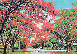 Flamboyant trees in Blakiston St, Harare, Zimbabwe, 1975