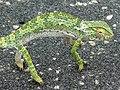 Flap-neck Chameleon (Chamaeleo dilepis) (6040870957).jpg