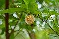 Fleur de Sarcocephalus latiflius (Forêt Classée des Trois Rivières).jpg