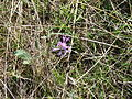 Fleur sauvage mauve (1).JPG