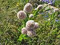 Fleurs blanches WA.jpg