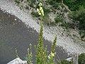 Fleurs des gorges de l'Ardèche 08.jpg