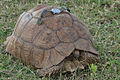Flickr - Rainbirder - African Spurred Tortoise.jpg