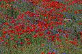 Flickr - Rainbirder - The Flower Meadow.jpg