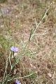 Flora della Sardegna 250 (02).jpg