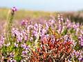 Flora of Lundy (9).jpg