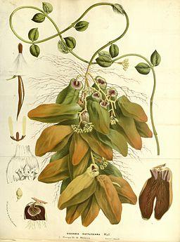 Flore des serres v15 171a
