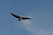 Florida Pelican fliing on Bradenton Beach.jpg