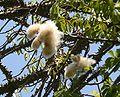 Floss silk tree puffs.jpg